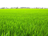 Paddy Rice Fields. — Stock Photo