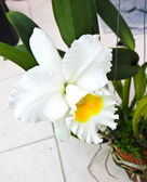 White Cattleya orchid — Stock Photo