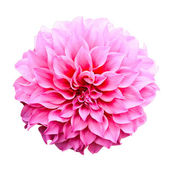 Dahlia flower isolated on white background. — Stock Photo