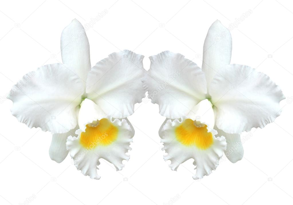 White Cattleya Orchids White Cattleya Orchid Isolated