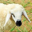 Sheep portrait — Stock Photo #27804335
