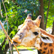 Stock Photo: Giraffe eating twigs