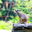 Meerkat in the zoo — Stock Photo