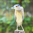Beautiful view of a bird Black-crowned Night Heron — Stock Photo