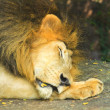 Close up of head of Male Lion Sleeping in zoo. — стоковое фото #27854805