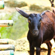 Stock Photo: Black goat, at zoo