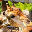 Stock Photo: Feed giraffe in zoo.