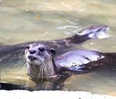 Otters — Stock Photo