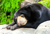 Malayan Sun Bear sleeping. — Stock Photo