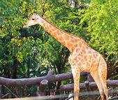 Pie jirafa en un zoológico. — Foto de Stock