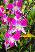 Beautiful orchid in garden — Stock Photo