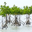 Stock Photo: Mangrove plant in seshore aerial roots