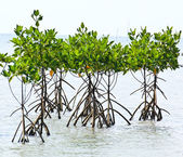 Mangrove plant in sea shore aerial roots — Stock Photo
