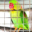 Green parrot in the cage — Stock Photo