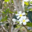 Branch of tropical flowers frangipani (plumeria) — Stock Photo #29565263