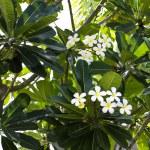 Branch of tropical flowers frangipani (plumeria) — Stock Photo #29565387