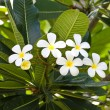 Branch of tropical flowers frangipani (plumeria) — Stock Photo #29565871