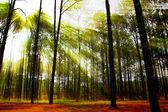 Lasu iglastego na wschód z promienie słoneczne — Zdjęcie stockowe