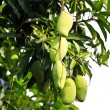 Mango tree in afternoon daylight. — Stock Photo