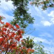 Flame tree Flower (Poinciana) blossom on blue sky background — Stock Photo