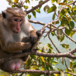 Stock Photo: Toque Macaque monkey