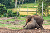 Elephant with young — Foto de Stock