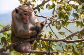 Toque Macaque monkey — ストック写真