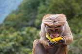 Toque macaque — Stock Photo