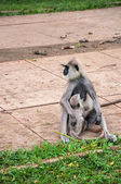 Hanuman langur with young — 图库照片