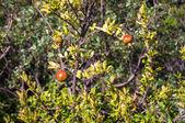 Frutto del melograno — Foto Stock
