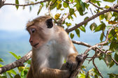 Macaque posing for photo — Stock Photo