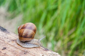 Snail on a piece of wood — Stock Photo