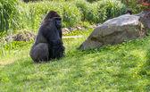 Gorila en pasto — Foto de Stock
