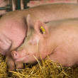 Stock Photo: Sleepy pigs