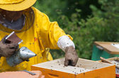 Apiarist working with smoker — Stockfoto