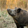 Wild boar — Stock Photo #27378765