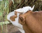 Cow eating hay — Stockfoto