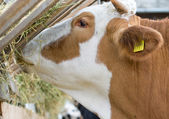 Cow eating — Stock Photo