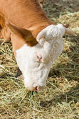 Cow eats hay — Stock Photo