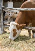 Cow eats hay — Stock Photo