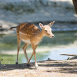 Fawn beside lake — Stock Photo
