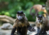 Small monkeys capuchin — Stock Photo