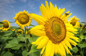 Sunflower with bee — Stock fotografie