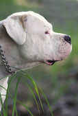 Dogo Argentino portrait — Stock Photo