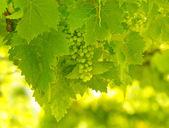 Vine tree — Stock Photo