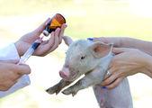 Veterinary injection — Stock Photo