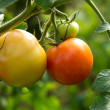 Tomato ripening — Stock Photo