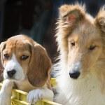 Постер, плакат: Collie and beagle