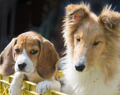 Collie and beagle — Stock Photo