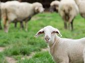 Curious lamb — Stock Photo